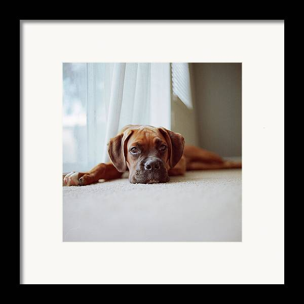 Square Framed Print featuring the photograph Tan Boxer Puppy Laying On Carpet Near Window by Diyosa Carter