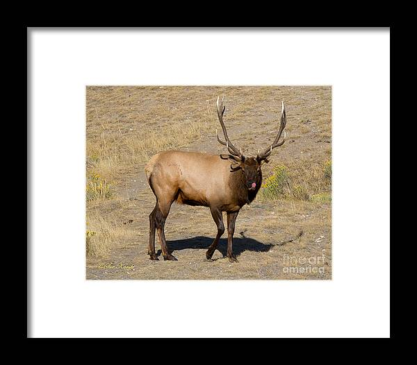 Bull Elk Framed Print featuring the photograph Tasty Visitor by Sue Karski