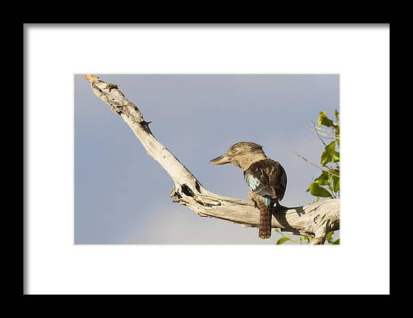 Laughing Kookaburra Framed Print featuring the photograph Tell me a Joke by Douglas Barnard
