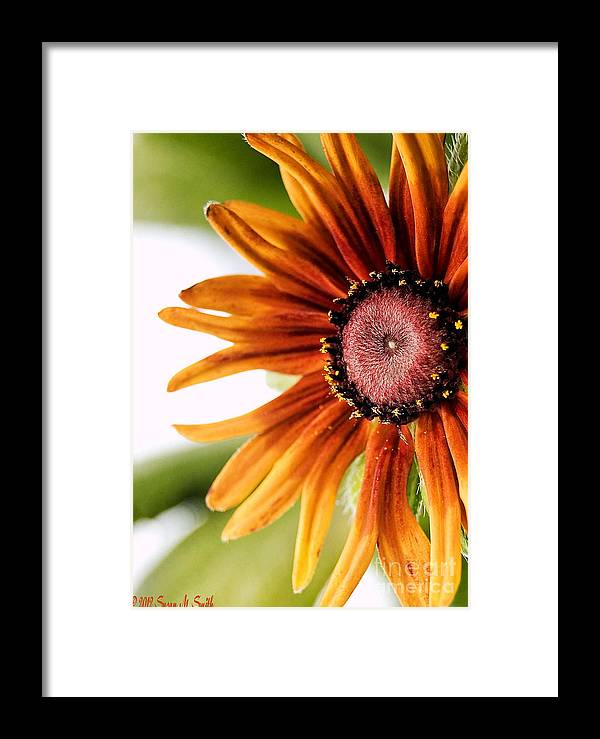 Flower Framed Print featuring the photograph Tequila Sunrise by Susan Smith