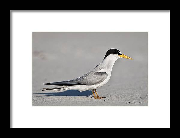 Florida Framed Print featuring the photograph Tern by Mike Fitzgerald