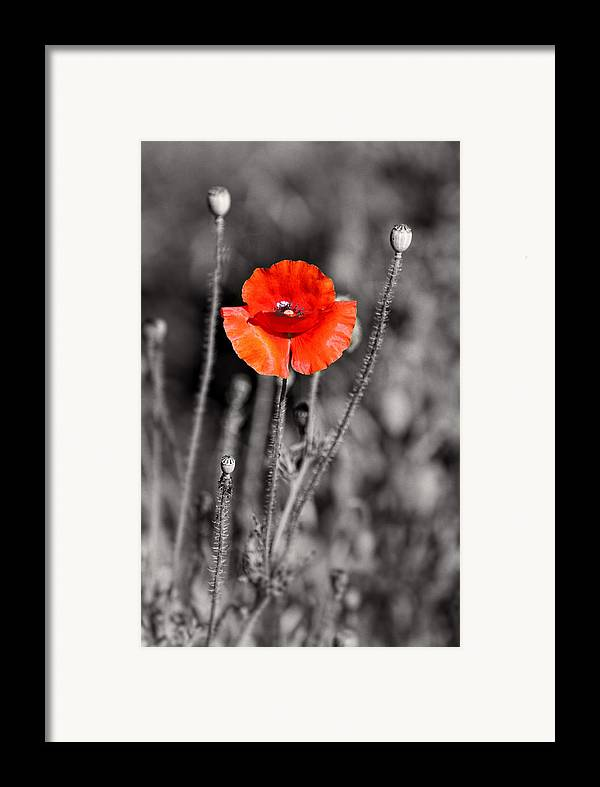 Plants Framed Print featuring the pyrography Texas Hot Poppy With Black And White by Linda Phelps