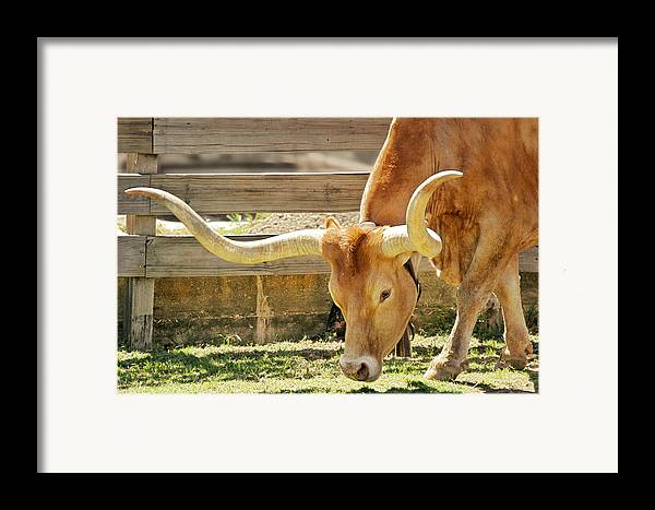 Long Framed Print featuring the photograph Texas Longhorns - A Genetic Gold Mine by Christine Till