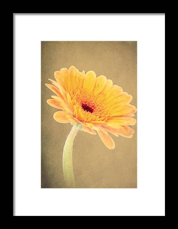 Yellow Framed Print featuring the photograph Textured Gerbra by Fiona Messenger