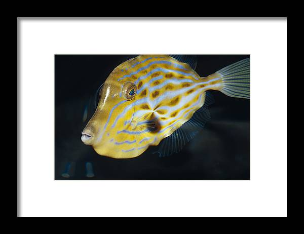 Melbourne Aquarium Framed Print featuring the photograph The Beautiful Iridescent Stripes by Jason Edwards