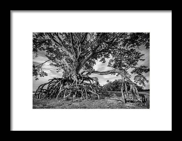 Aged Framed Print featuring the photograph The Biggest Rain Tree In Thailand by Natapong Paopijit
