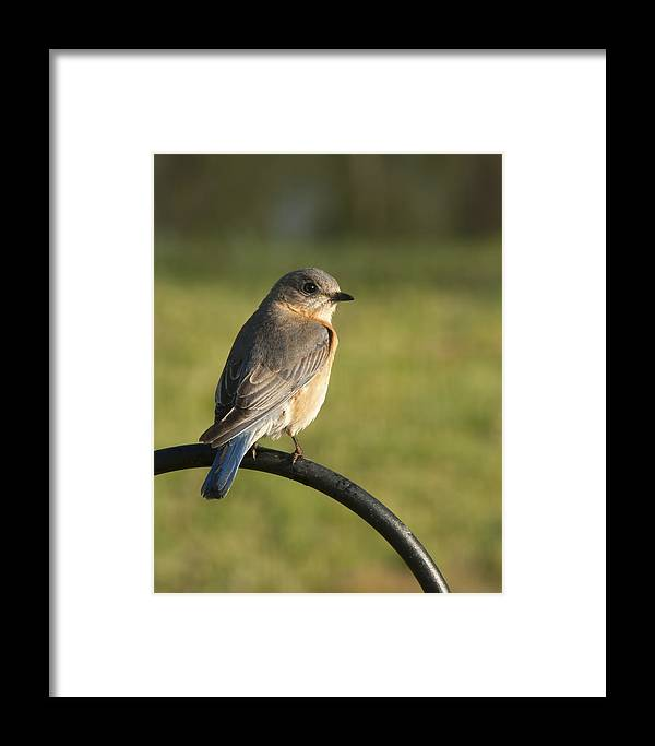 Sialia Sialis Framed Print featuring the photograph The Bluebird Of Happiness by Kathy Clark
