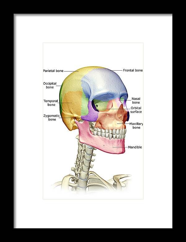 Vertical Framed Print featuring the digital art The Bones Of The Head, Neck And Face by MedicalRF.com