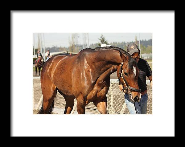 Thoroughbred Racing Framed Print featuring the photograph The Calm Walk Before The Race by Rod Giffels