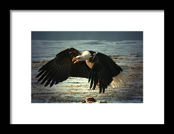 Bald Eagle Framed Print featuring the digital art The Chase Is On by Carrie OBrien Sibley