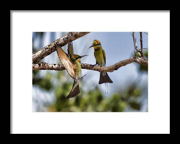 Rainbow Bee-eaters Framed Print featuring the photograph The Courtship by Douglas Barnard
