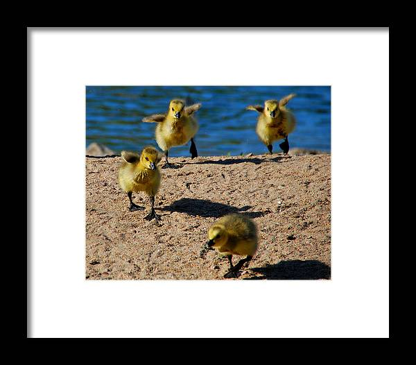 Gosslings Framed Print featuring the photograph The Exuberance Of Youth by Joe Wicks