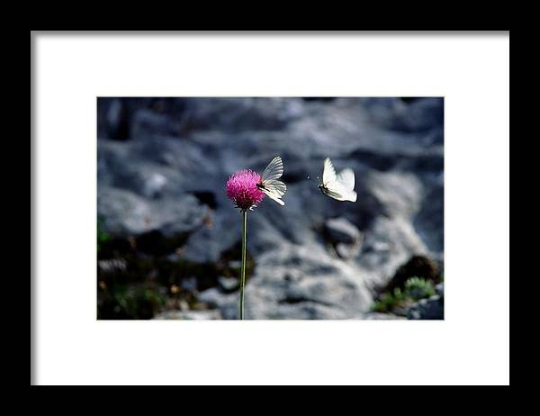 Aporia Crataegi Framed Print featuring the photograph The Flight by Patrick Kessler