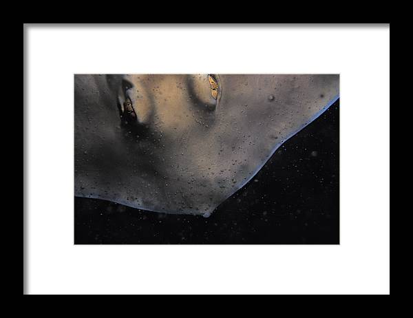 Melbourne Aquarium Framed Print featuring the photograph The Golden Eyes Of A Sparcely Spotted by Jason Edwards