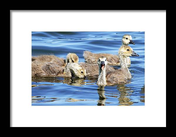 Goslings Framed Print featuring the photograph The Goslings by Cheryl Cencich
