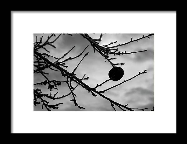 Vermont Apples Framed Print featuring the photograph The Last Apple by Tom Singleton