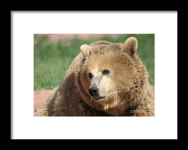 Bear Framed Print featuring the photograph The Look by Living Color Photography Lorraine Lynch