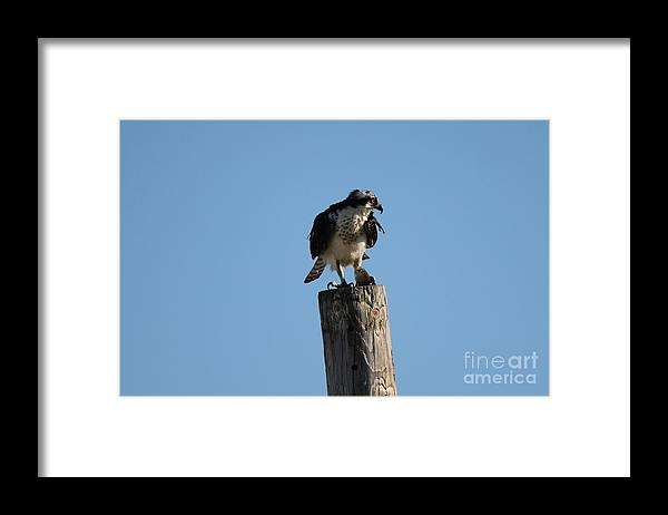 Birds Framed Print featuring the photograph The Osprey's First Catch Collection Image IV by Scenesational Photos