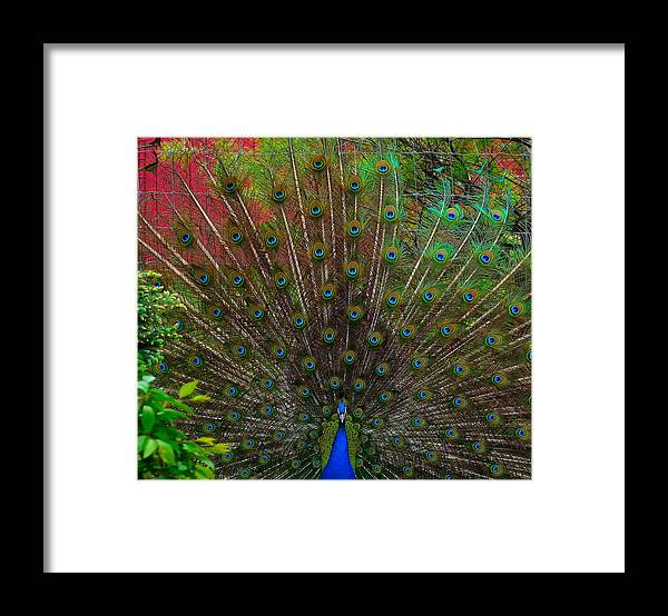 Framed Print featuring the photograph The Peacock by Dawn Santos