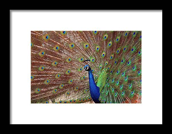 Peacock Framed Print featuring the photograph The Peacock by Stephen Barrie