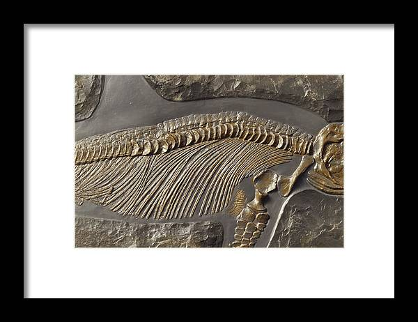 Collectors Corner Framed Print featuring the photograph The Ribs And Spine Of Ichthyosaur by Jason Edwards