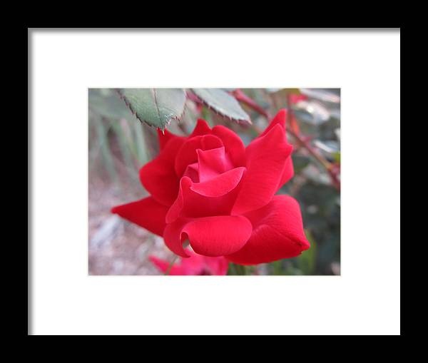 Flowers Framed Print featuring the photograph The Rose by Tim Campbell
