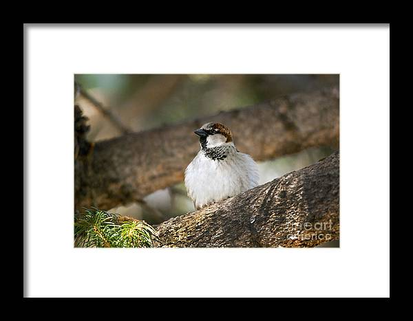 Sparrow Framed Print featuring the photograph The Sparrow by Brian Ewing