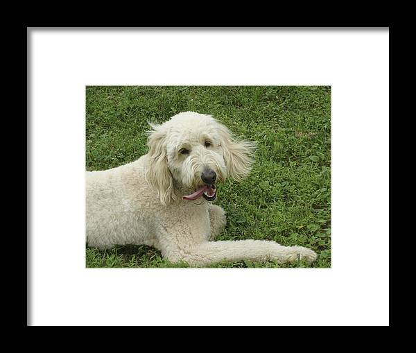 Labradoodle Framed Print featuring the photograph The Tongue by Ramie Liddle