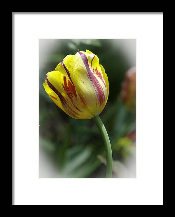 Yellow And Red Tulip Framed Print featuring the photograph The Tulip Dance by Christine Belt