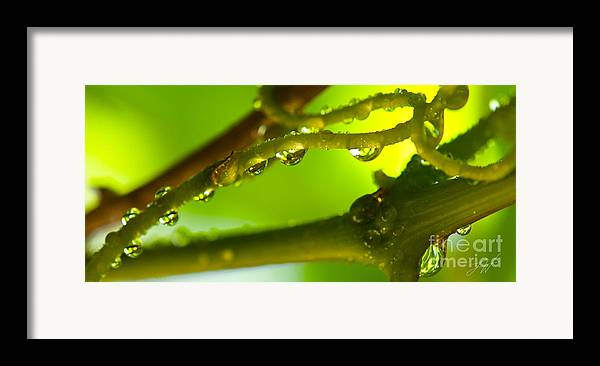 Vineyard Framed Print featuring the photograph The Vineyard After The Rain by Artist and Photographer Laura Wrede
