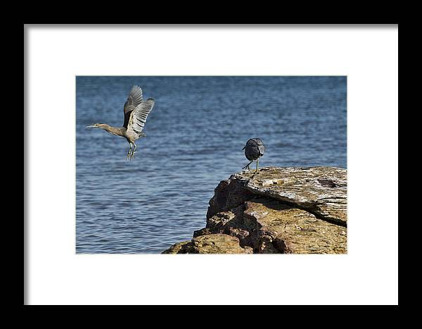 Dark Reef Egret Framed Print featuring the photograph The Winner Takes It All by Douglas Barnard