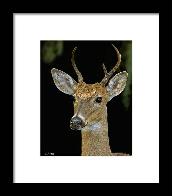 White-tail Deer Framed Print featuring the photograph The Yearling by Larry Linton