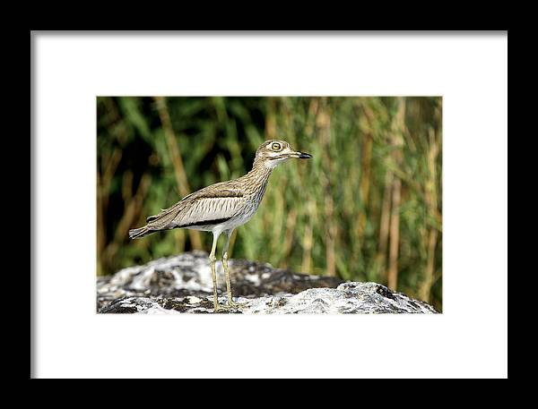 Chobe Framed Print featuring the photograph This Is Botswana No. 5 - Water Thick-knee by Paul W Sharpe Aka Wizard of Wonders