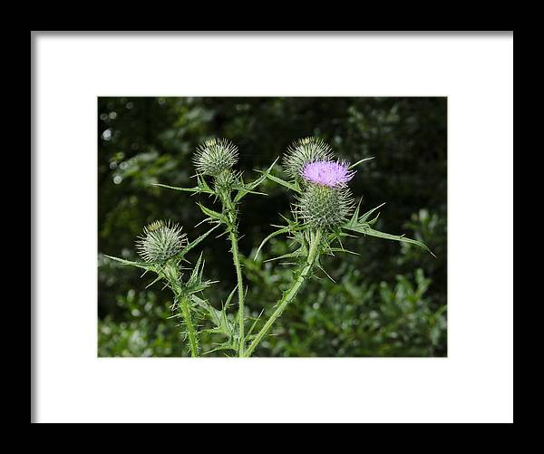 Thistle Framed Print featuring the photograph Thistle by Nick Field
