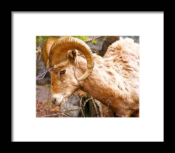Nature Framed Print featuring the photograph Thompson Falls Ram by William Kelvie