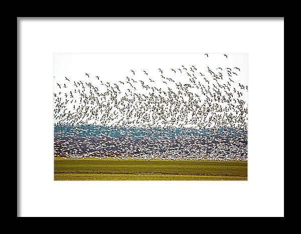 Snow Geese Framed Print featuring the photograph Thousands by Karen Ulvestad