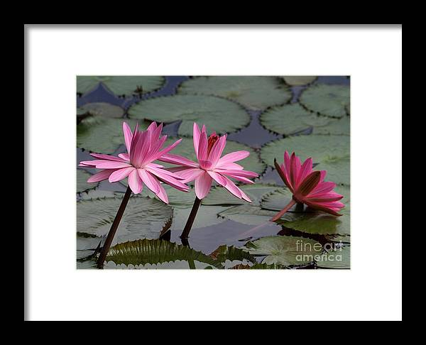 Art Framed Print featuring the photograph Three Sweet Pink Water Lilies by Sabrina L Ryan