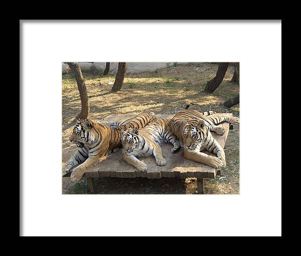 Tiger Framed Print featuring the photograph Three Tigers by Roman Anuchkin