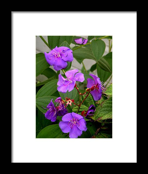 Tibochina Framed Print featuring the photograph Tibochina Flowers by Sandra Sengstock-Miller