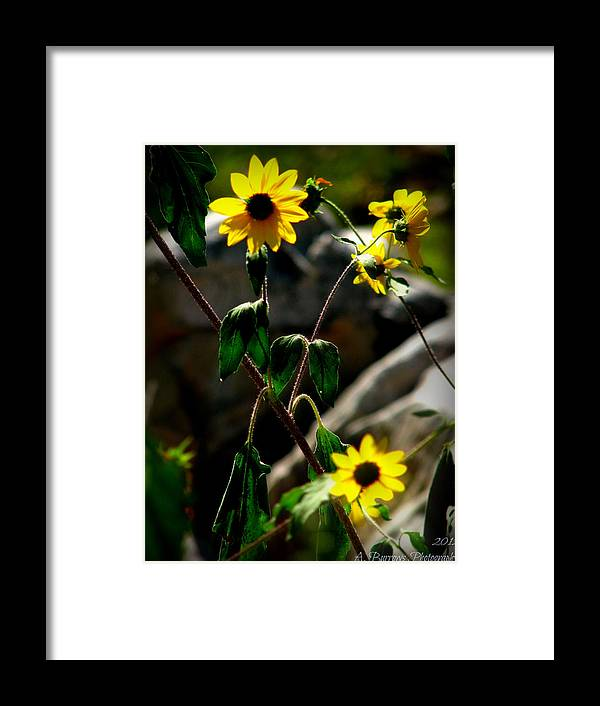 Prescott National Forest Framed Print featuring the photograph Tickseed Sunflowers by Aaron Burrows