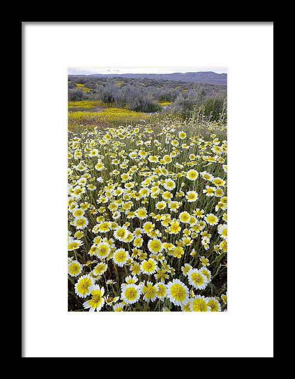 Tidy Tips Framed Print featuring the photograph Tidy Tips (layia Platyglossa) by Bob Gibbons