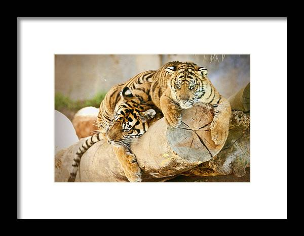 Tiger Framed Print featuring the photograph Tiger And Cub by Clarence Alford