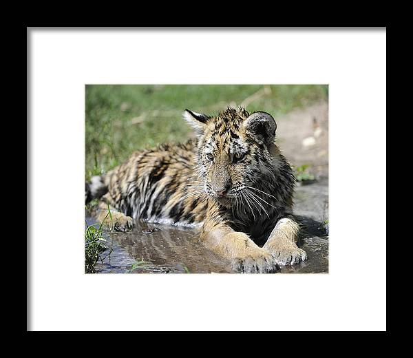 Tiger Framed Print featuring the photograph Tiger Cub In A Puddle by Keith Lovejoy