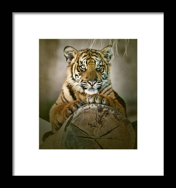 Tiger Framed Print featuring the photograph Tiger Cub On A Log by Clarence Alford