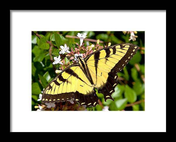 Butterfly Framed Print featuring the photograph Tiger Swallowtail by Lynne Jenkins