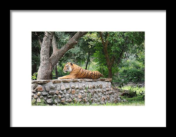 Tiger Framed Print featuring the photograph Tiger Tiger Burning Bright by Profulla Robert