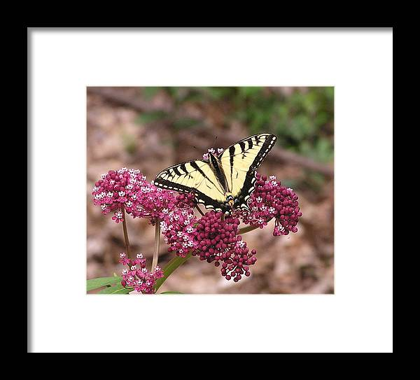 Tigertale Framed Print featuring the painting Tigertale Butterfly by Rima Geleziunas