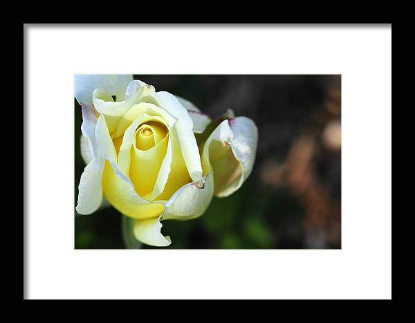 Rose Framed Print featuring the photograph Tightly Woven by Wanda Brandon