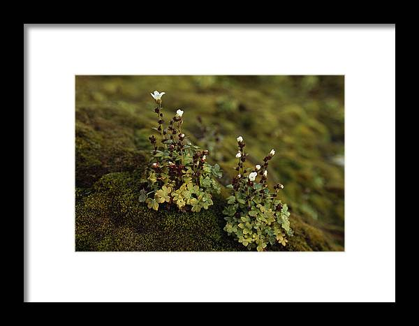 Color Image Framed Print featuring the photograph Tiny Flowering Plant Grows In Moss by Gordon Wiltsie