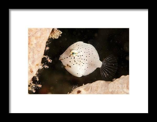 Tiny White Filefish With Small Black Framed Print By Mathieu Meur